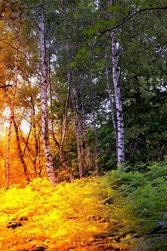 Zonlicht in het berkenbos van Carin Klabbers