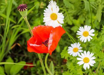 Weiße Margeriten Blumen im Sommer auf grünem Hintergrund von MPfoto71