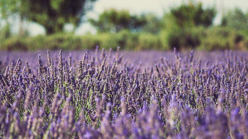 Field of lavender van Laura Vink