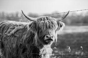 Schotse hooglander van Steven Dijkshoorn