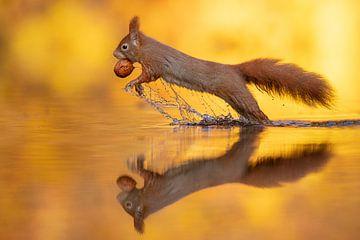 Springendes Eichhörnchen von Dick van Duijn