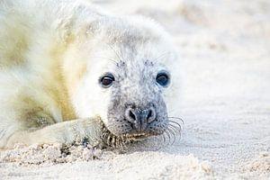 Baby zeehond (Halichoerus grypus) relaxing op het strand