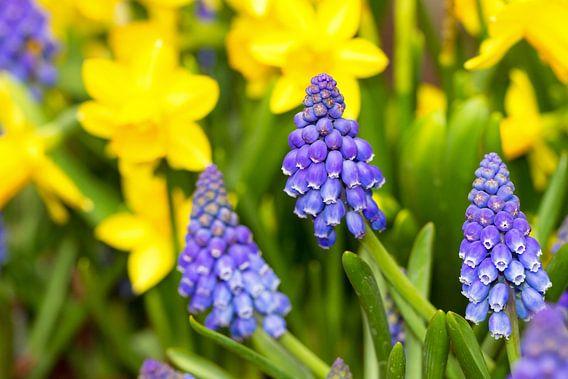 Blauwe druifjes en gele narcissen