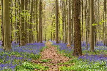 Lente bos met wilde hyacinten van