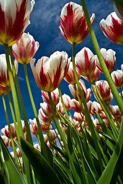 Tulpen veld in bloei van