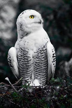 Überraschende halbe Drehung.  Weiße Polareule im Sommer, wilder schöner Greifvogel, ausdrucksstarke  von Michael Semenov
