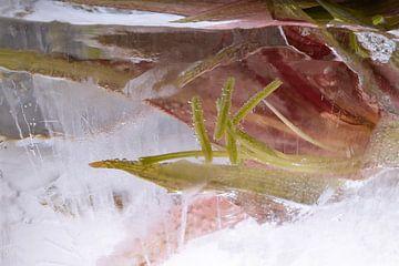 Amaryllis in ijs 2 van Marc Heiligenstein