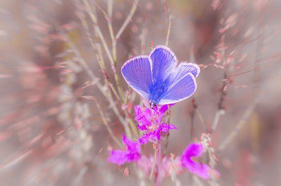 Icarusblauwtje op een bloem van wilgenroosje.  van Ron Poot