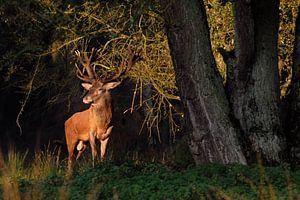 first light... Red Deer *Cervus elaphus*