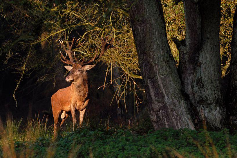 first light... Red Deer *Cervus elaphus* van wunderbare Erde