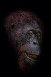 Funny orangutan face
