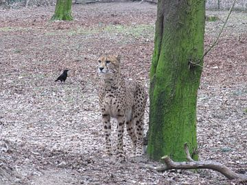 cheeta van