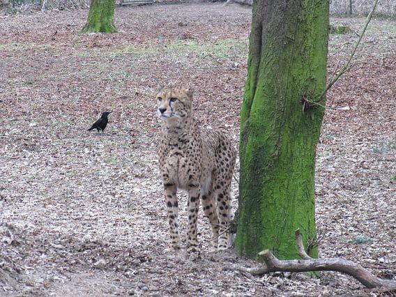 cheeta van Folbert Nicolai
