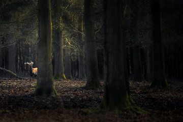 Edl-Hirsch im Wald von Ton Drijfhamer