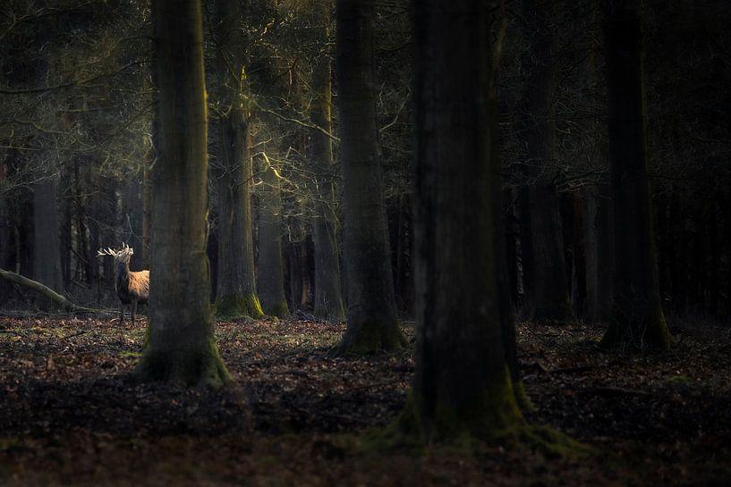 Cerf Edl dans la forêt sur Ton Drijfhamer