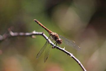Braune Libelle auf einem Ast von Eline Lohman