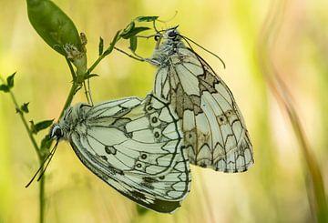 Schmetterlinge von Hennie Zeij