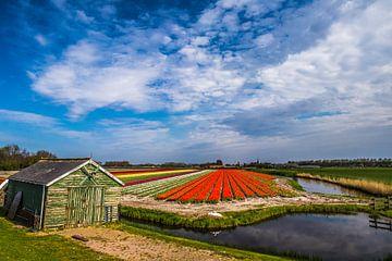 Schuur bij tulpenveld van Peter Heins