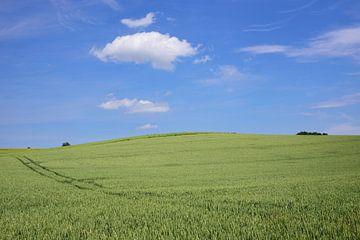 Ein grünes Weizenfeld vor blauem Himmel von Ulrike Leone