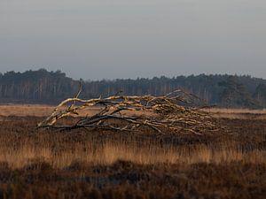 Vertakkingen - omgevallen boom op de Kalmthoutse Heide van Inez VAN DE WEYER