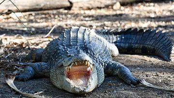 Krokodil in Australien von Robert Styppa