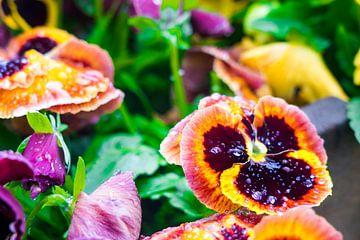 Oranje viooltje beneveld met dauwdruppels, uitvergroot van John Ozguc