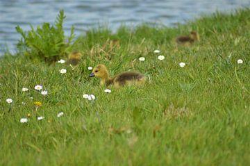 Gänseküken im Gras von Lisanne Rodenburg