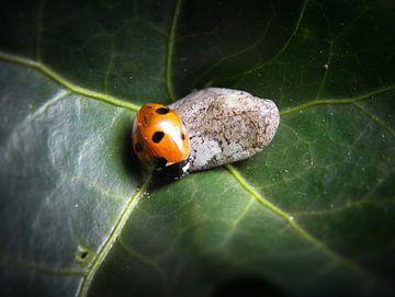 Lieveheersbeestje in een klimopblad van Corina Hoekstra