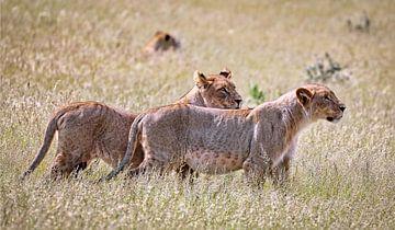 Löwinnen, Etosha Nationalpark in Namibia