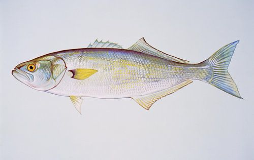 Blauwbaars  (Bluefish) van
