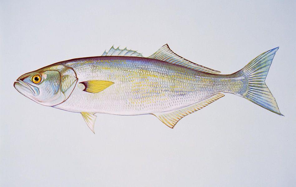Blauwbaars  (Bluefish)