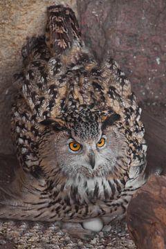 Uhu auf dem Nest brütet Eier aus. Eule mit klaren Augen und einem wütenden Blick aus nächster Nähe i von Michael Semenov