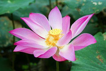 Rosa Lotus im Mekong-Delta, Vietnam von Sven Wildschut