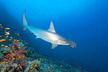 Scalloped Hammerhead close the coral reef van
