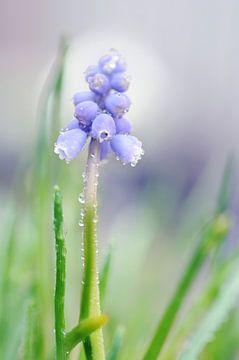 Macro - Blauwe druif van