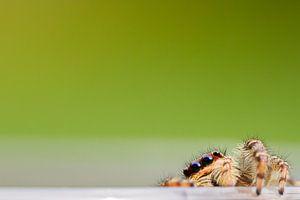 Kiekboe / Jumping Spider von Harm Rhebergen