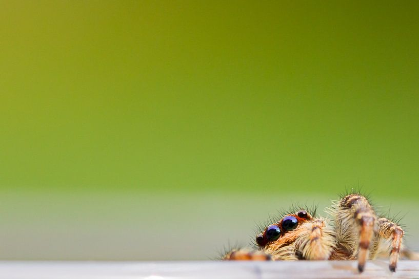 Kiekboe / Jumping Spider van Harm Rhebergen