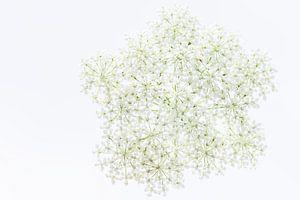 Witte Schermbloem