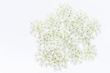 Witte Schermbloem van Desiree Adam-Vaassen