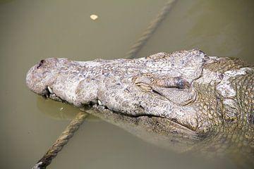 Krokodil von Daniël Smits