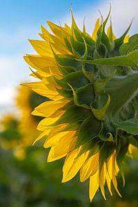 Rückseite einer Sonnenblume in Frankreich. von Christa Stroo fotografie