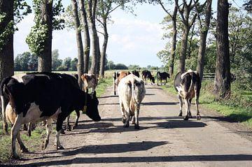 Kühe Kreuzung in Friesland  von Jessica van den Heuvel