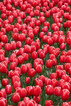 Veld met rode tulpen van Ad Jekel