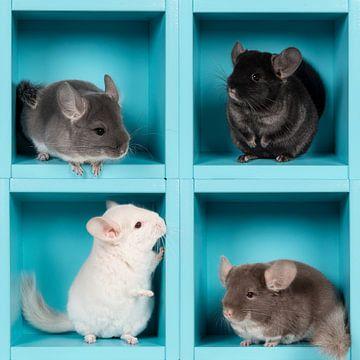 Vier Chinchillas in einer Schachtel von Elles Rijsdijk