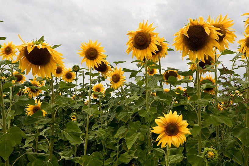 Zonnebloemen van Jim van Iterson