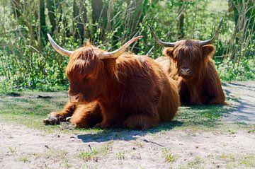 Schotse-hooglanders van Erik Reijnders