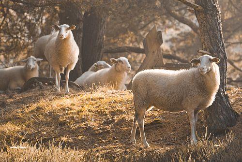 Kudde schapen in het ochtendgloren