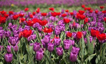 Rode en paarse tulpen von Gerard Burgstede