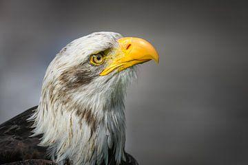 Portrait Weißkopfseeadler von Manfred Schmierl