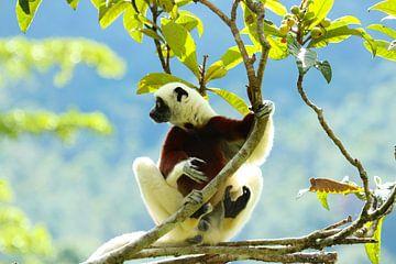 Coquerel's Sifaka lemur op Madagaskar van Marieke Funke